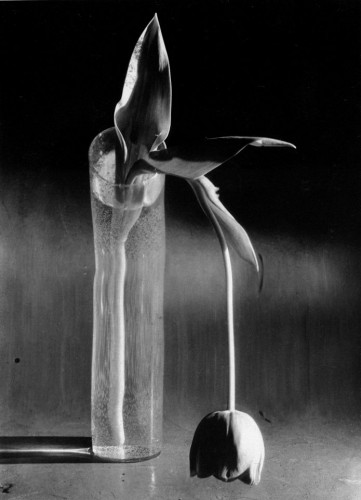 Melancholic Tulip, 1939. André Kertesz.